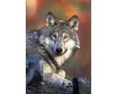 Puzzle Młody wilk