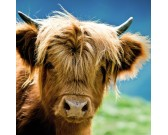 Puzzle Szkocka krowa