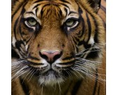 Puzzle Tygrys - MINI PUZZLE